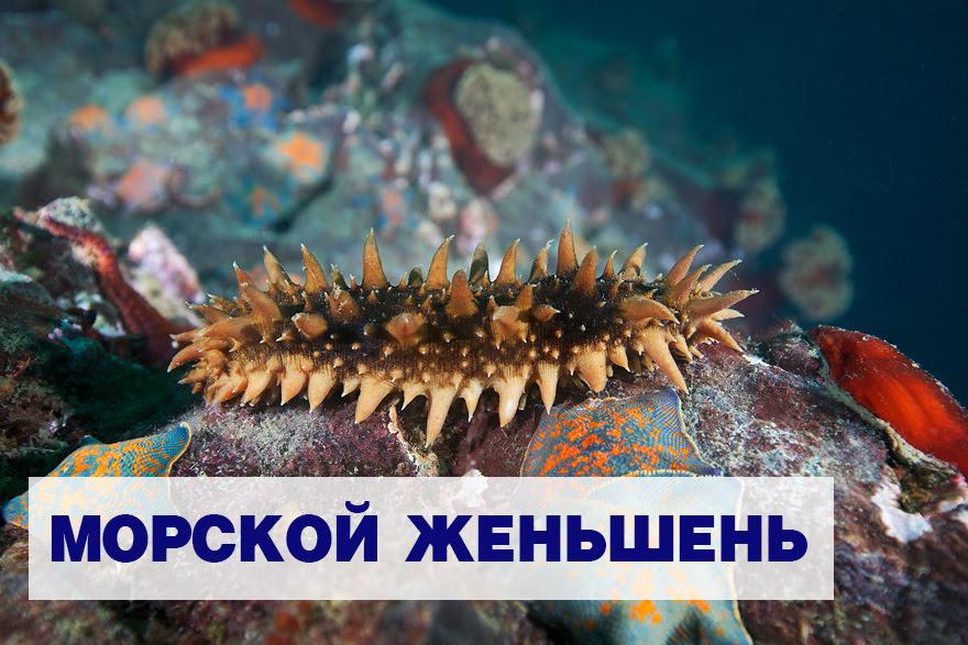 Трепанг, или морской огурец: Морской женьшень
