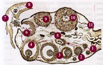 Рис.2. Схема строения яичника