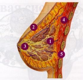 Рис.3. Строение молочной железы