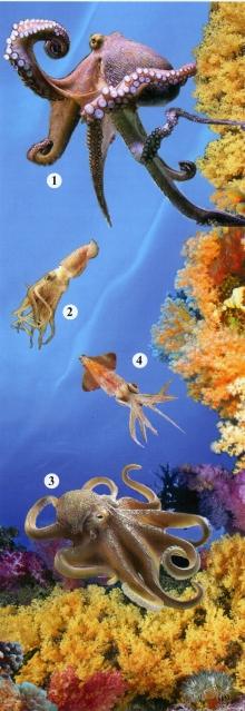 1 - гигантский осьминог, 2 - тихоокеанский кальмар, 3 - песчаный осьминог, 4 - командорский кальмар