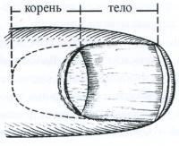 Рис. 12. Схема строения ногтя