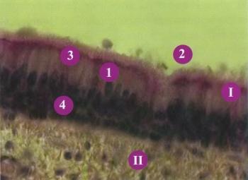 Рис.4. Слизистая оболочка трахеи
