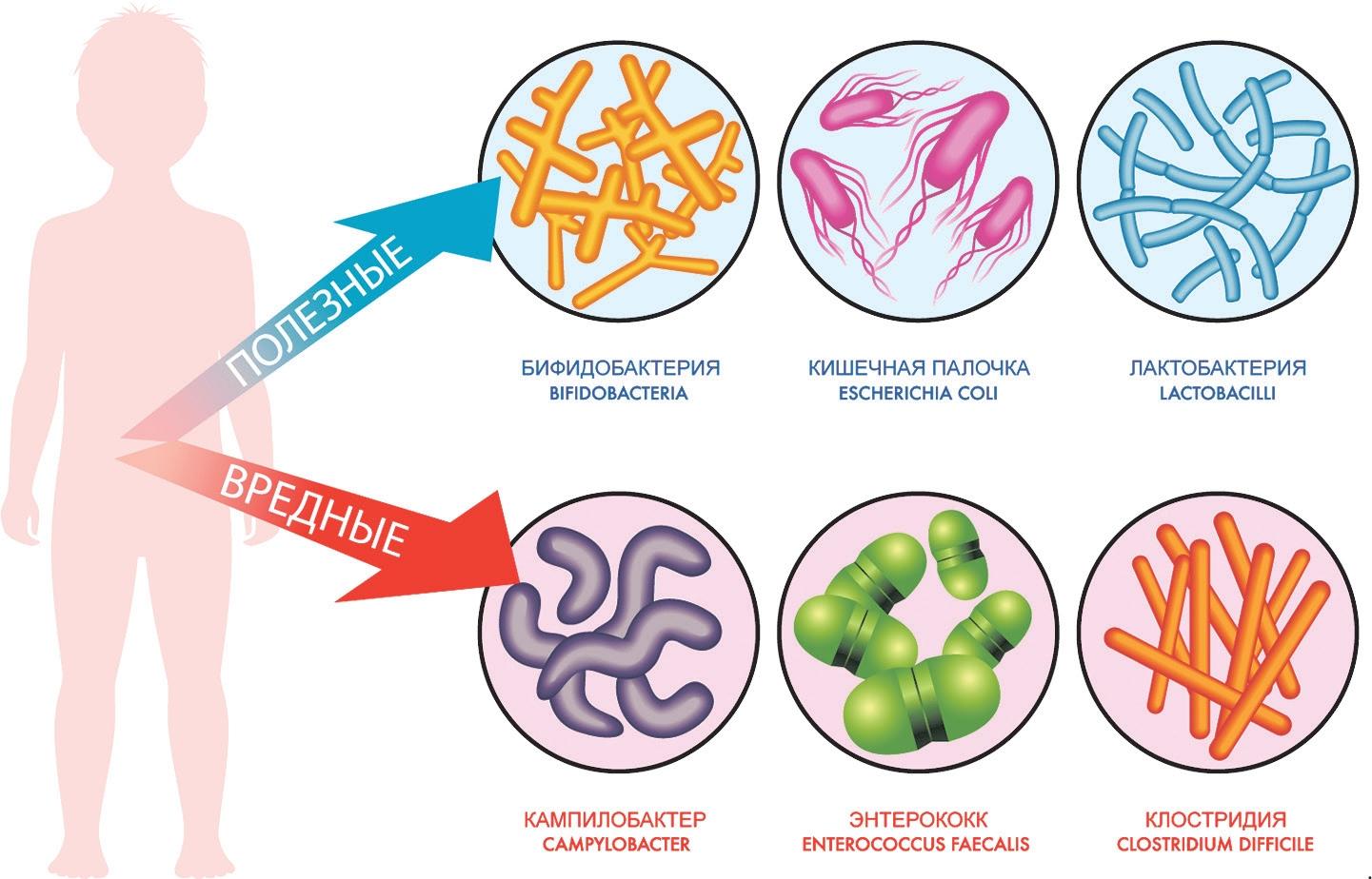 Иммунитет и микробиота