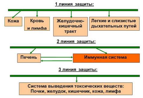 ...желудочно-кишечный тракт; 2 - печень и иммунная система; 3 - экскреторная (выделительная) система - почки...