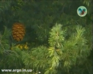 Новое видео о кедровой продукции Дэльфа