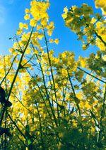 Дикий лен, немецкий кунжут, сибирское масляное семя