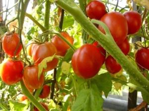 А поскольку...  Красивые плоды томатов, свисающие нарядными гроздьями,вызвали интерес у любителей-цветоводов.