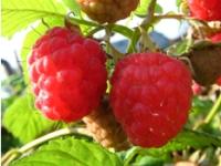 ЭМ-Технология при выращивании малины