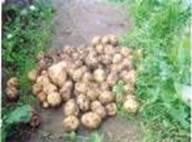 Способ выращивания раннего картофеля с «Байкалом ЭМ-1»!