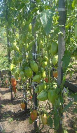 Собираем урожай с ЭМ-технологией