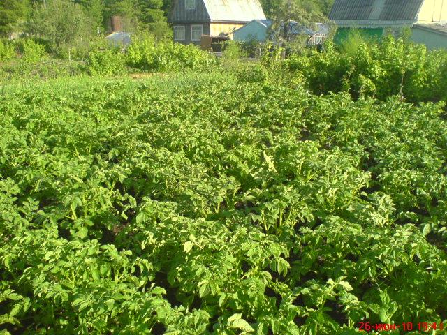 Фото 1. Картофель, замоченный в препарате «БайкалЭМ1», в лунки клали смесь из Ургасы, цеолита и золы