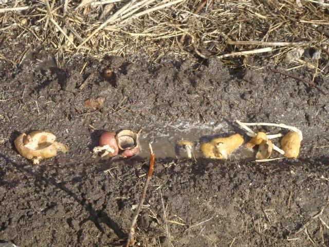 Как получить урожай из картофельных очисток?