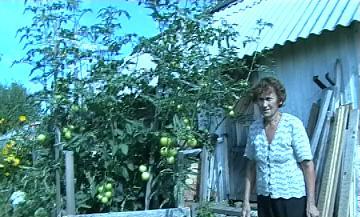 Помидорное дерево на севере