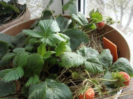 ЭМ-пластик позволяет выращивать землянику даже зимой!