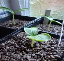 Уход за рассадой с помощью ферментированного удобрения