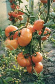 Уход за томатами согласно ЭМ-Технологии