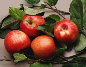 Влияние ЭМ-полимера на сохраняемость и качество свежих яблок