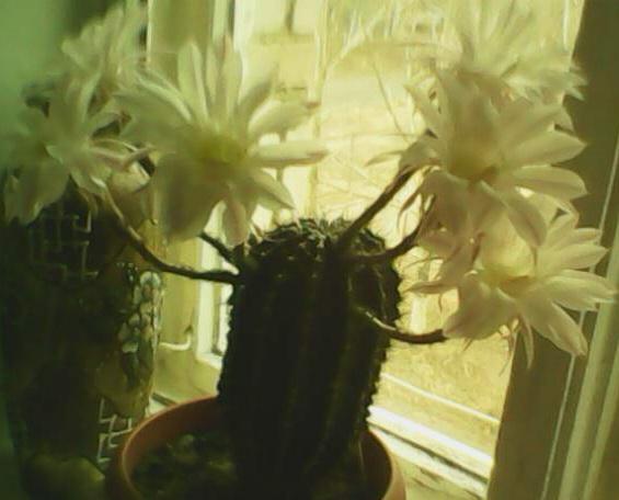 Ургаса - находка для цветовода!