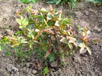 Применение ЭМ-технологии при выращивании роз
