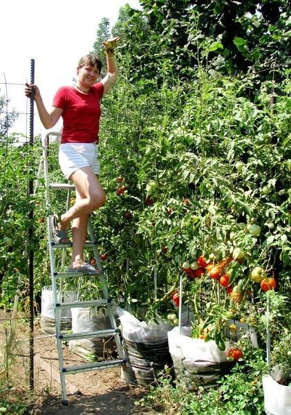ЭМ-технология и помидорная рассада