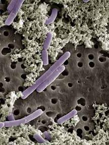 Пробиотическая теория предотвращения преждевременного старения