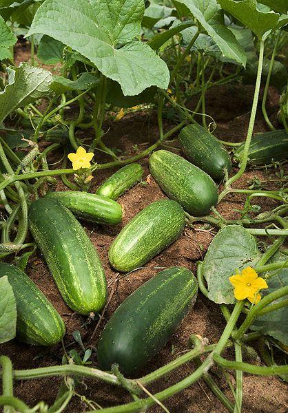 Влияние «Байкал ЭМ1» на урожайность огурцов в теплице