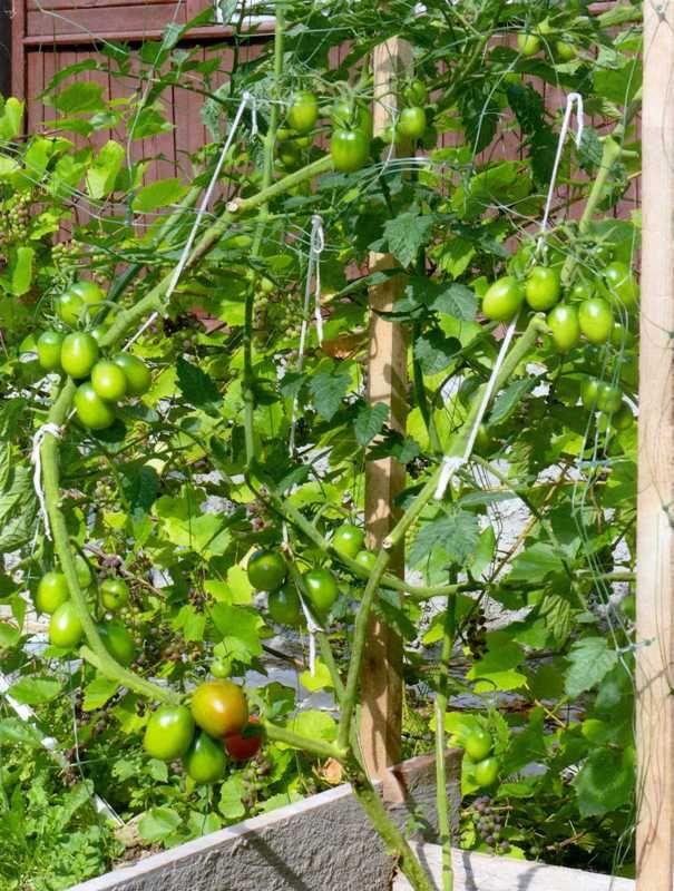 Ургаса для выращивания помидорного дерева
