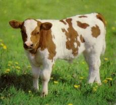 ЭМ-препараты при кормлении молодняка крупного рогатого скота