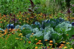 Защита капусты от вредителей народными средствами