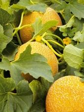 Выращивание арбузов и дынь по эм-технологии