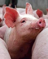 Использование микробиологического препарата «Байкал ЭМ1 У» для ферментации кормов в свиноводстве