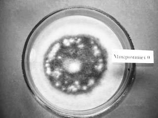 Микромицет-целлюлозолитик, развитие на фильтровальной бумаге