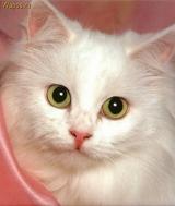 Применение препарата Эмикс в «кошководстве»