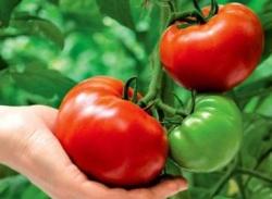 Как вырастить здоровые томаты без полива