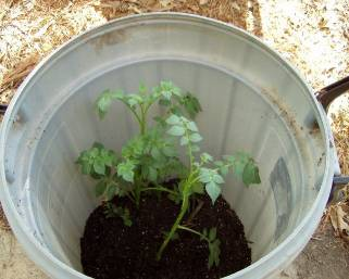 Выращивание картофеля по-новому с применением 21