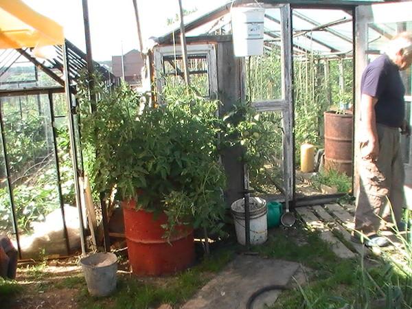 Помидорное дерево и овощное ведро