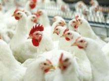 Выращивание домашней птицы и бройлеров с помощью ЭМ-технологии