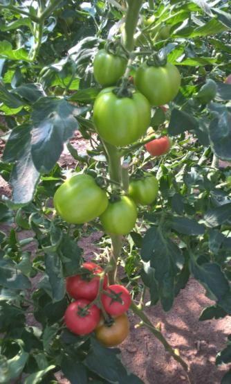 ЭМИКС прошел успешные испытания при выращивании томатов в защищенном грунте