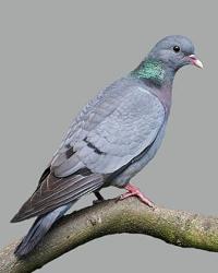 Применение препарата для спасения голубей