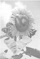 Повышение эффективности использования солнечного света растениями