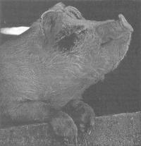 Опыт применения ЭМ-технологии в свиноводстве