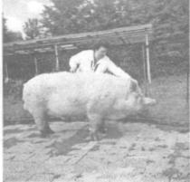 Результаты испытания препарата «Байкал ЭМ-1» на свинокомплексе межхозяйственного объединения «Южное»