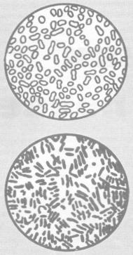 Азотобактер (вверху) и клострилиум (внизу) в поле зрения микроскопа