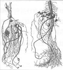 Клубеньки на корнях бобовых растений