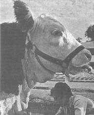 Использование препарата «Байкал ЭМ-1» для профилактики заболеваний телят и свиней