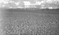 Формирование урожая озимого тритикале при применении биопрепарата «Байкал ЭМ-1»