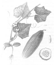 Использование ЭМ-препаратов для борьбы с бабочкой-огневкой при выращивании огурцов
