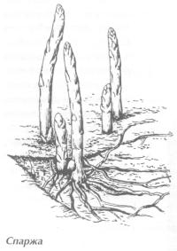 Салатные растения
