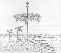 Растение из легенды - женьшень