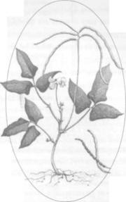 Вигна (стручкова фасоль)